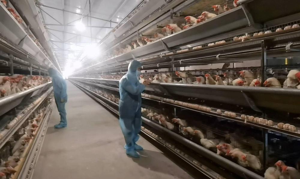 chicken farm lighting
